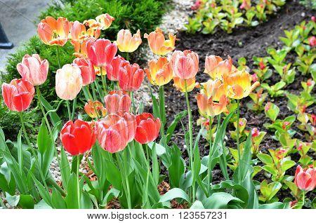Tulip. colorful tulips. tulips in garden, colourful tulip