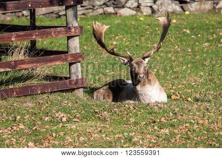 Seeker Deer Stag