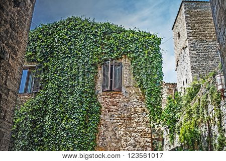 ivy plants on an old house in San Gimignano Italy