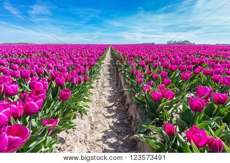 Tulips field with purple flowers blue sky and path