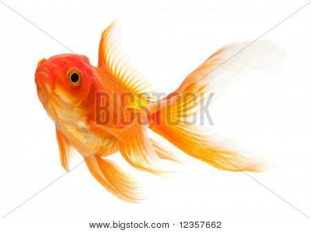 Goldfish isolated over white background
