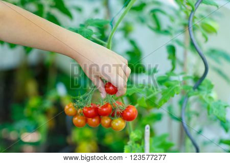Hand of little kid picking fresh ripe tomatoes vegetables  in greenhouse. child helping on sunny summer day. Family, garden, gardening, lifestyle