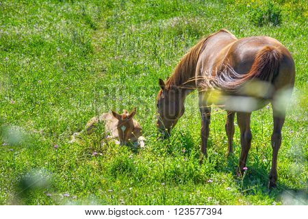mare and foal on a green meadow in Sardinia Italy