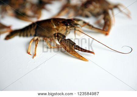 Crayfish Isolated On A White Background.