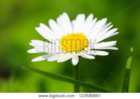 Beautiful spring daisy,floral background,macro photography,small depth of field