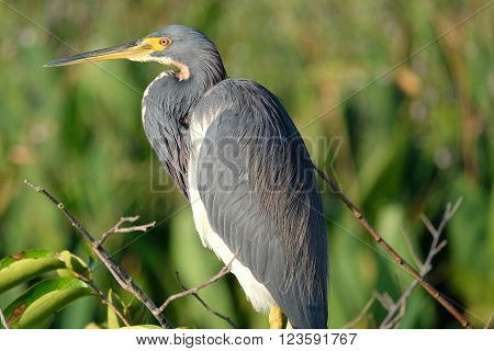 Close up of a Tricolored Heron on a tree in profile