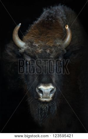 Portrait of a bison or Bison bonasus ** Note: Visible grain at 100%, best at smaller sizes