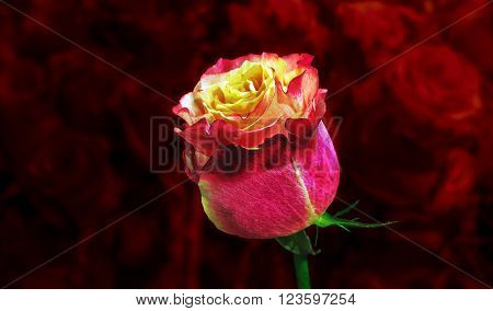 luxury a major rose on blurred background million roses. flower of Love.