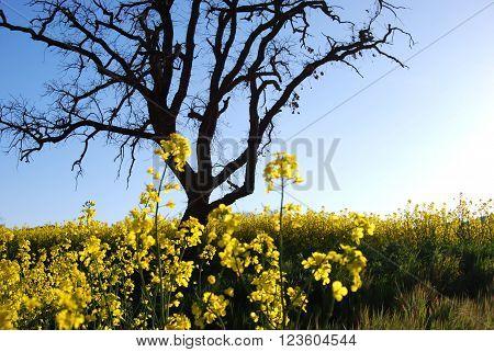 Paisaje de campo de flores amarillas con silueta de árbol