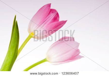 Tulips Isolated on white background . Flower