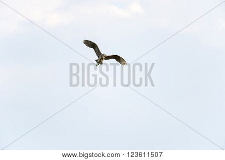Immature Black-crowned Night-Heron (Nycticorax nycticorax) in flight