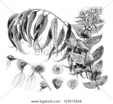 Details Eucalyptus globulus, vintage engraved illustration. Magasin Pittoresque 1880.