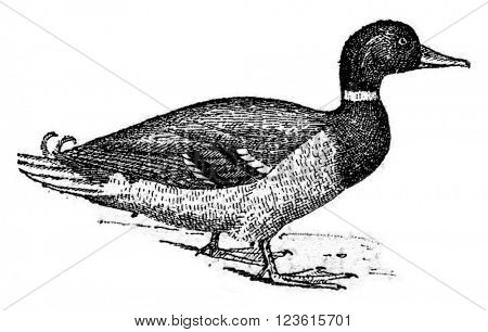 Duck, vintage engraved illustration. Dictionary of words and things - Larive and Fleury - 1895.