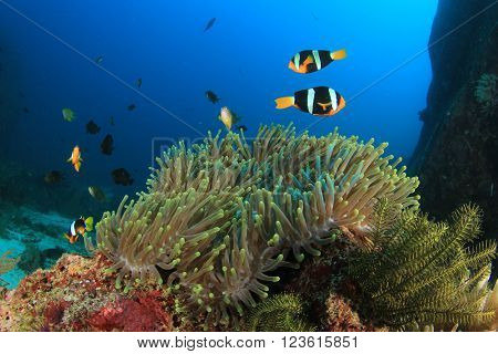 Coral reef, anemones and clownfish