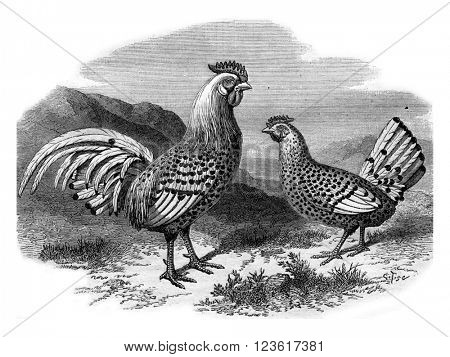 Hamburg chicken and silver rooster, vintage engraved illustration. Magasin Pittoresque 1880.
