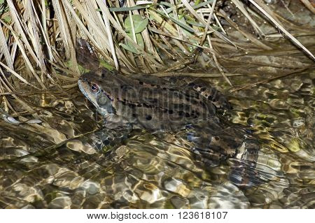 Frog temporaria in clear stream in winter,  mountain Vitosha, Bulgaria