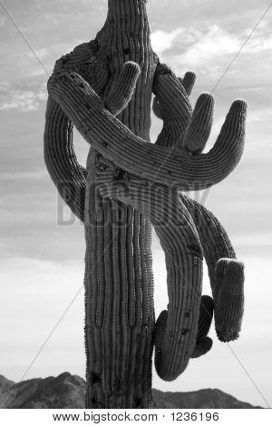 Crazy Saguaro Kaktus