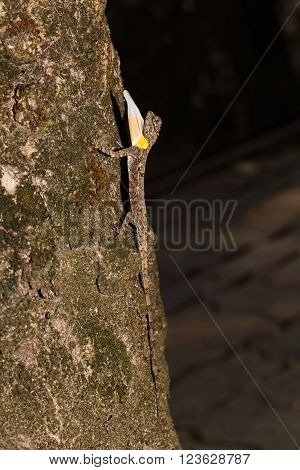 Spotted flying dragon or Orange-winged flying lizard with gular fold (Draco maculatus) on tree