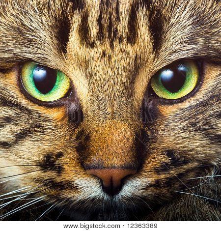 Retrato de primer plano de ojos verdes gato siberiano