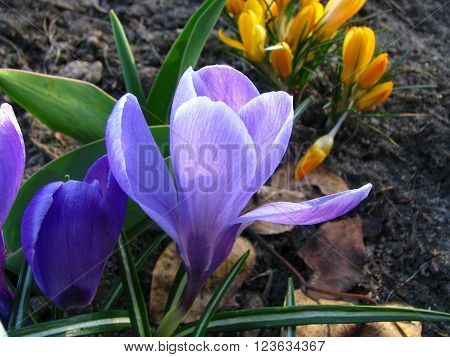 Wild crocus blooming in the first sun rays in spring Crocuses field in Tatry