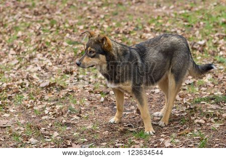 Outdoor portrait of stray female of wolfcolor dog at spring season waiting for cute male