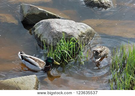drake and duck swimming on the water near green grass (vegetation) and grey stones on the river bank of Volga at june