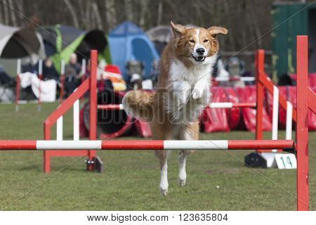 Australian shepherd dog dog jumping across hurdle at agility course
