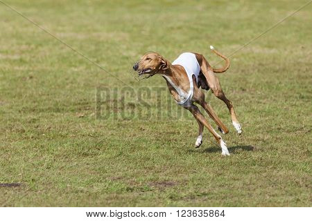 purebred Azawakh sight hound running at coursing race competition