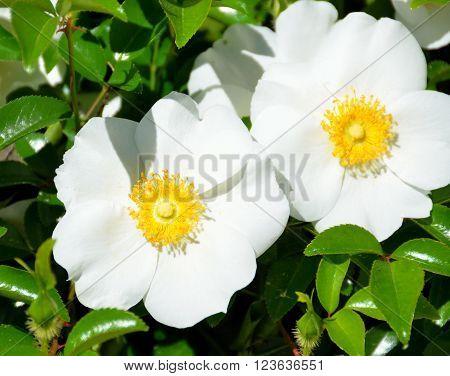 Beautiful Cherokee Rose flower of Georgia, USA.