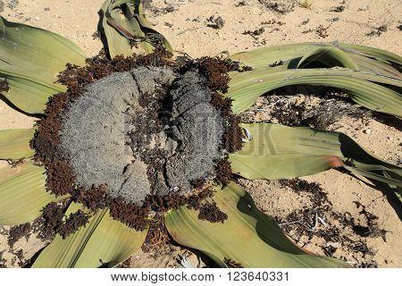 Welwitcha Mirabilis, planta exótica exiotente apenas no deserto do Namibe em Angola