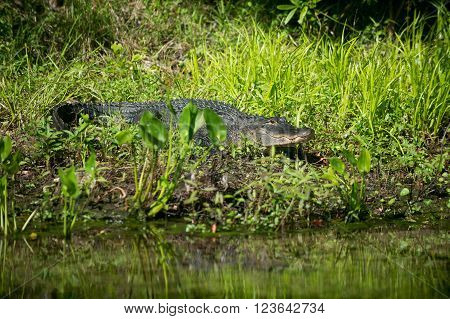 Alligator In Florida Swamp