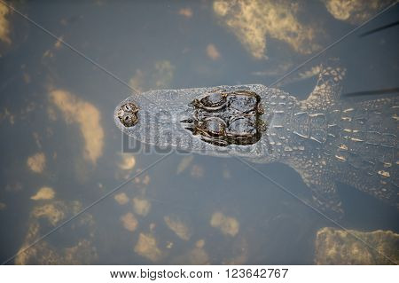 Young Alligator In Water