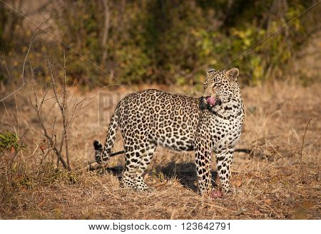 Leopard In Morning Sun