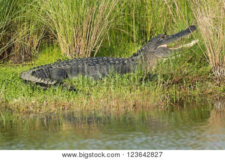 Large American Alligator In Florida