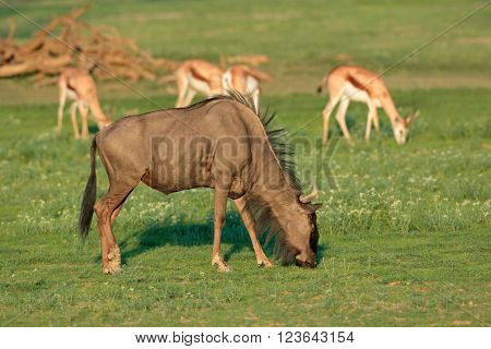 Grazing blue wildebeest and springbok antelopes, Kalahari, South Africa