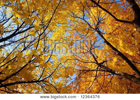 Yellow and red leaves on maple tree against clear blue sky at Autumn