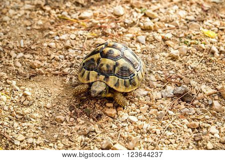 African spurred tortoise walking on the gravel