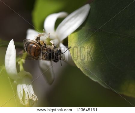Honeybee collecting pollen from a lime blossom during a Florida spring