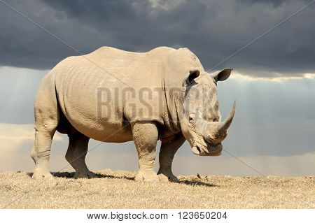 African white rhino, National park of Kenya