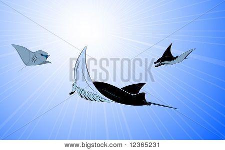 Manta Ray in the sea