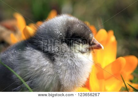Dominant Blue Chick with crocus flower portrait