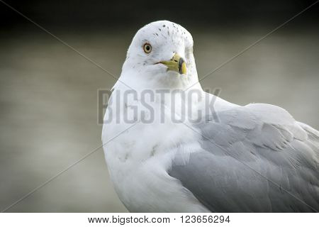 Sea gull in close up portrait with selective focus