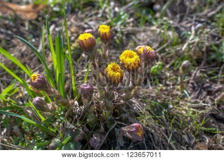 coltsfoot - medicinal plant tussilago farfara, selective focus
