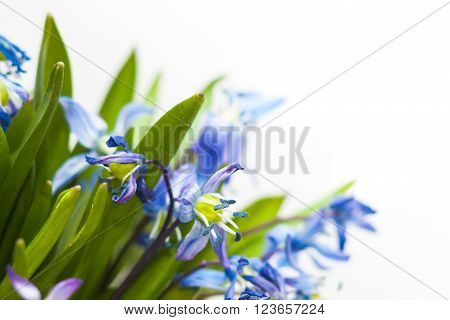 Floral background of first blue spring flowers close up macro photo
