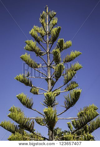 Southern Pine - Tall Norfolk Pine Tree growing in Florida
