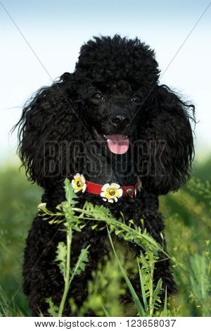 Black Poodle in green grass with a collar