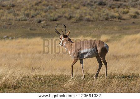 a nice pronghorn antelope buck on the prairie