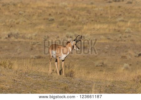a nice pronghorn antelope buck on the prairie ** Note: Visible grain at 100%, best at smaller sizes