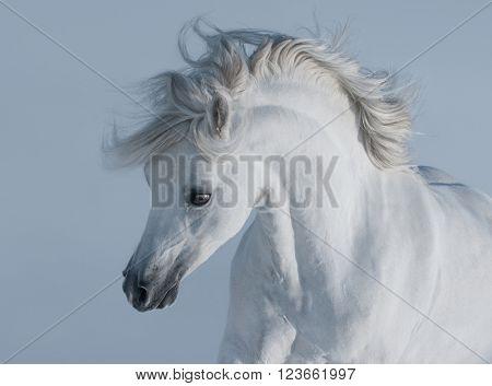 White stallion. Close up.
