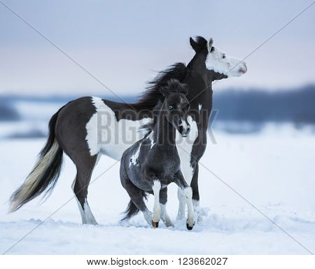 Mare whit foal on snowfield. Breed horse - American miniature horse.